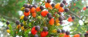 Дерево, на котором растет 40 видов фруктов (США)