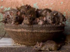 Храм Карни Мата: обитель крыс (Индия)